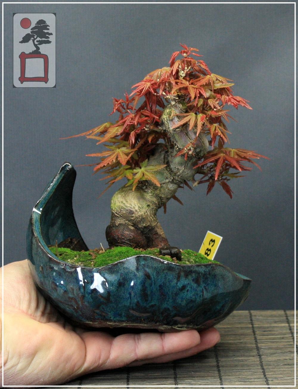 Ref 083 arce japones acer palmatum yamamomijii 12 - Arce japones cuidados ...
